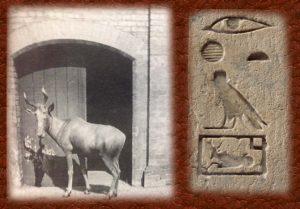 Fotografía de bubal y presencia en jeroglífico