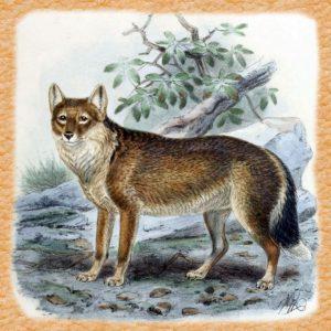 Lobo-zorro malvinero