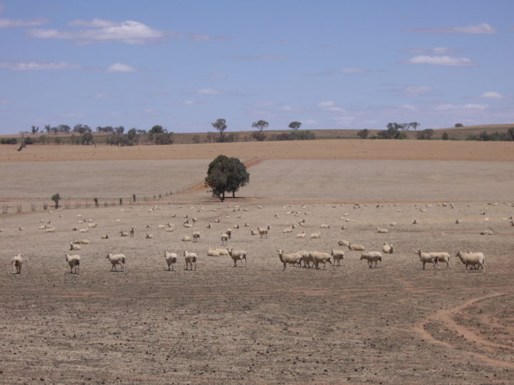 Riverina Sheep (during drought)